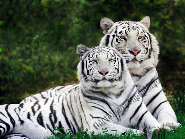 mơ thấy hổ vằn trắng