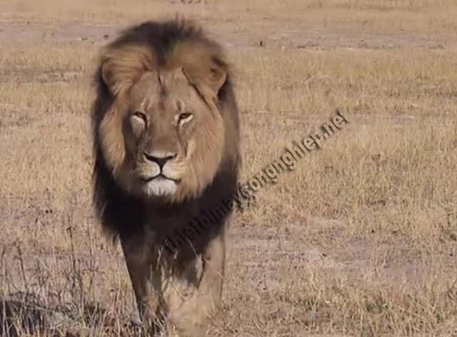 mơ thấy sư tử đuổi