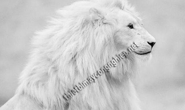 mơ thấy sư tử trắng