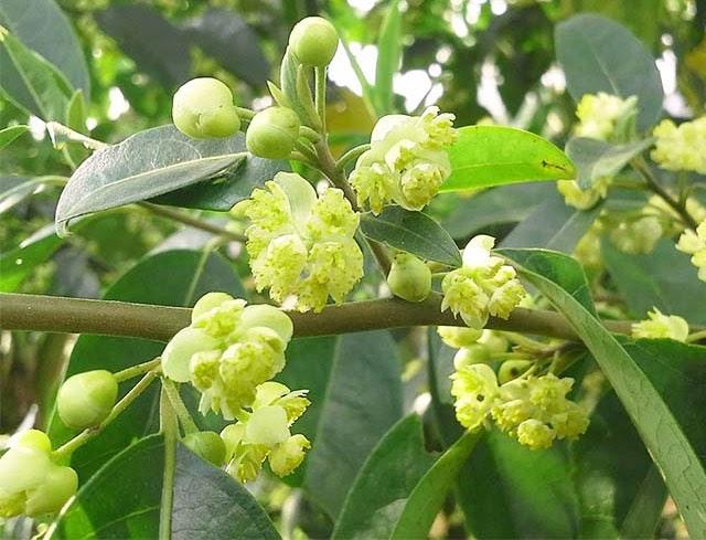 hoa cây màng tang