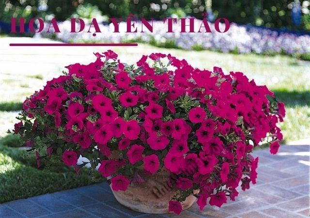 hoa dạ yến thảo mùa thu